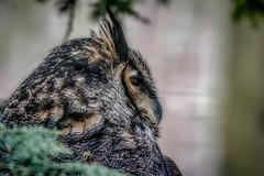 Great Horned Owl - Toronto Zoo (KWPashuk) Tags: nikon d7200 tamron tamron150600mm lightroom luminar luminar2018 kwpashuk kevinpashuk owl great horned profile bird nature toronto zoo ontario canada torontozoo wildlife