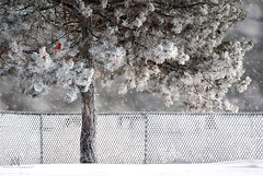 winter fence landscape (marianna_a.) Tags: fence friday hff winter hoarfrost white snow frost chainlink steannedebellevue montreal quebec canada marianna armata urban pine tree cardinal bird nature manmade