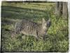 GATO (BLAMANTI) Tags: gatos gato felinos felino camuflaje hermoso hermosa blamanti canon canonpowershotsx60