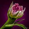 Tulip (Magda Banach) Tags: canon canon80d sigma150mmf28apomacrodghsm colors flora flower macro nature plants purple tulip