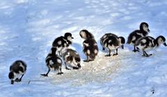 'Snow' Geese! (pstone646) Tags: goslings egyptiangeese birds nature wildlife snow animals fauna kent babies nine wildfowl waterfowl