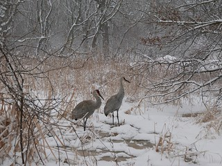 SANDHILL CRANES IN DRIZZLING SNOWFALL