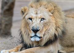 Lion (Moshe Ovadya) Tags: metabonesv lazoo sigmaapo150500mmf563dgoshsm sonyα7riii losangeles nature photoshop luminar animals socal lion 150500mm a7r a7riii alpha canoneflenstosonyemounttsmartadaptermarkv ilce7rm3 metabones sigma sony sonyalpha southerncalifornia telephoto zoo california unitedstates us animal mammal