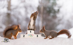 red squirrel stands on podium  with a medal (Geert Weggen) Tags: acrobat animal backlit branchplantpart bright cheerful closeup coldtemperature cute horizontal humor ice looking mammal nature photography pinecone red rodent ski skipole smiling snow sport squirrel sun olympic sweden tree winter wintersport woodmaterial games wintergames podium price win champion medal bispgården jämtland geert geertweggen weggen hardeko swedish jämtlan ragunda