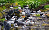 Isle of May 16 May 2017-0143.jpg (JamesPDeans.co.uk) Tags: puffin isleofmay greatbritain birds prints for sale auks unitedkingdom nature fife scotland britain firthofforth eastneuk wwwjamespdeanscouk gb digital downloads licence man who has everything landscapeforwalls europe uk james p deans photography digitaldownloadsforlicence jamespdeansphotography printsforsale forthemanwhohaseverything