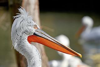 kudravi nesit (Pelecanus crispus / Dalmatian Pelican / Krauskopfpelikan)