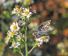 aster bokeh (Vicki's Nature) Tags: checkeredskipper small butterfly gray blue white wildflowers asters bokeh etowahriverpark georgia vickisnature november fall canon s5 2837 returnnc