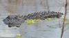 O2K_4170 (68photobug) Tags: 68photobug nikon d7000 sigma 150500mm usa centralflorida polkcounty lakeland circlebbar reserve preserve refuge park marsh sanctuary wetlands pinescrub nature naturecenter discoverycenter environmentalcenter wildlifemanagement alligatoralley gators alligator americanalligator lurking