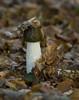 RVW_0035 (Rogier van der Weiden) Tags: common stinkhorn phallus impudicus stinkzwam mushroom