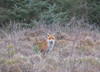Fox (Cant Beat The Drumm) Tags: fox red moss bush tree looking