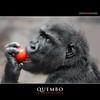 QUEMBO (Matthias Besant) Tags: affe affen affenblick affenfell animal animals ape apes fell hominidae hominoidea mammal mammals menschenaffen menschenartig menschenartige monkey monkeys primat primaten saeugetier saeugetiere tier tiere trockennasenaffe primates querformat gorilla zoo zoofrankfurt matthiasbesant child kind jung junge tomate hessen deutschland tomato