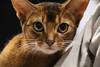Cat (Dragan*) Tags: cat animal pet abyssiniancat ruddy portrait eyes face closeup indoor