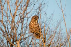Great Gray Owl (Laura Erickson) Tags: strigidae birds stlouiscounty greatgrayowl species strigiformes places minnesota strixnebulosa