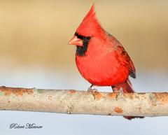Northern Cardinal (Bob the Birdman and All Around Nature Guy) Tags: northerncardinal cardinaliscardinalis robertmiesner bobthebirdman finch bird animal wildlife nature