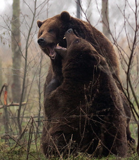 Brown bear Hoenderdaell BB2A4114