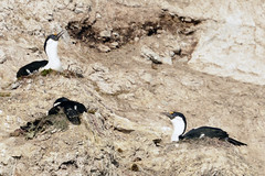 Brown_2017 12 11_2839 (HBarrison) Tags: harveybarrison hbarrison antarctica antarcticpeninsula brownstation paradiseharbor antarcticshag taxonomy:binomial=phalacrocoraxbransfieldensis arctic antarctic arcticantarctic