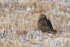Northern Harriers of Mercer | 2018 - 2 (RGL_Photography) Tags: birding birds birdsofprey birdwatching circuscyaneus gardenstate henharrier marshhawk mercercounty mercermeadows newjersey nikonafs600mmf4gedvr nikond500 northernharrier polefarm raptors us unitedstates wildlife wildlifephotography