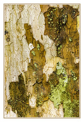 Abstract Sycamore Bark - 2016 (TAC.Photography) Tags: sycamore abstract abstracts bark flakes trunk tree details pattern texture art tomclarknet httpwwwtomclarknet tacphotography