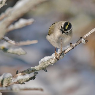 Golden-crowned Kinglet On Snowy Branch