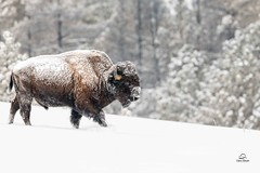 Downhill Bison (Glatz Nature Photography) Tags: custerstatepark glatznaturephotography nature nikond850 snow southdakota wildanimal wildlife winter bison bisonbison