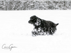 2/12 - Sammy 2018 (conniegavin12) Tags: 12monthsfordogs 12monthsfordogs18 fieldspaniel spaniel dog pet snow winter