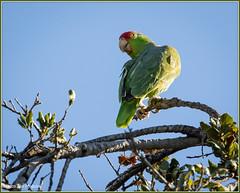 Red-crowned Parrot 1337 (maguire33@verizon.net) Tags: amazonaviridigenalis losangelescountyarboretum redcrownedparrot bird arcadia california unitedstates us nonnative introduced