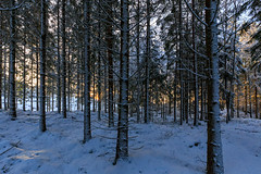 Looking from the snow side (NaturaRAW) Tags: canonef1635f4lisusm canoneos6d winter snow woods trees pine nature landscape sunlight outdoors