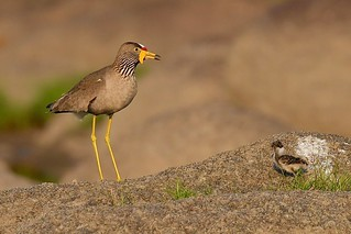 Wattled Lapwing and chick