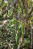 2015-05-21 TEC-6140 Smilax domingensis (large specimen) - E.P. Mallory (B Mlry) Tags: 35nerved 2015 tec armed branching belize belizedistrict belizezoo flora idd leaveslanceolate orchidaceae orchid smilacaceae smilaxdomingensis tbz transitionforestlongtrail tropicaleducationcenter apexacutetoattenuate climber crosssection foliage habitat hairlessstem insitu leafbasecuneateorattenuate leavesglabrous pricklesstraight pricklystem purplishstem stem stemcolor straightstems striatedstem tallos tendrils teretestem venation wetforest democracia