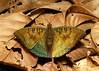 Bronze Duke (Euthalia nara, Nymphalidae) (John Horstman (itchydogimages, SINOBUG)) Tags: insect macro china yunnan itchydogimages sinobug entomology lepidoptera butterfly nymphalidae duke topf25 tweet tumblr topf50 top