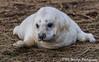Innocence (davidrhall1234) Tags: greysealhalichoerusgrypus seal animal donnanook lincolnshire nature countryside coastal coast conservation endangered nikon mammal shore shoreline sea outdoors wildlife wildlifetrust coth5