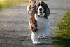 Zeke's still got it at 10 (Russ Beinder) Tags: bc canada castlepark duke nugget portcoquitlam sherman zeke dogs