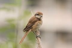 Brown Shrike (Bangkok Birds) Tags: ฺbrown shrike bird bangkok nikon