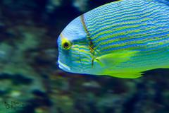 Aquarium life (kwtracyghostship) Tags: fish pennsylvania westernpa kwtracyghostship pittsburghzoo alleghenycounty commonwealthpa aquarium pittsburgh unitedstates us vibrant colorful aqua nature bioluminescence