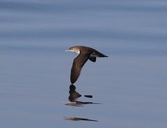 Black-vented Shearwater (tombenson76) Tags: blackventedshearwater puffinusopisthomelas losangelescounty nearshorepacificocean