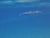 Houndfish (Jwaan) Tags: houndfish needlenose underwater surface fins blue silver bvi britishvirginislands caribbean westindies