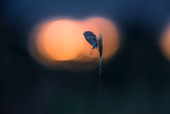 Bläuling. (Markus1224) Tags: butterfly schmetterling macro makro gegenlicht backlight blue lycaenidae bläuling nature germany badenwürttemberg nikon d5500 sunset sonnenuntergang dof raw abstrakt abstract surreal bokeh albstadt orange