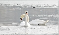 White beauties (Simply Viola ( Busy +off-on )) Tags: natura cigno nature bird water river swan