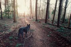 Totoro and the forest sunset (Jos Mecklenfeld) Tags: totoro dutchshepherddog dutchshepherd hollandseherdershond hollandseherder herdershond herder shepherd shepherddog dog hond forest bos nulbos terapel westerwolde groningen sonyxperiaz5 xperia