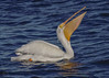 American White Pelican with fish. (Estrada77) Tags: americanwhitepelicans fishing mississippiriver nikond500200500mm wildlife winter jan2018 water ld14