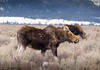 Moose cow on a windy day (scepdoll) Tags: grandtetonnationalpark grosventre highway89 jackson kelly moosejam nationalelkrefuge tetons moosecalf mooses snow troublemakermoose ungulate winter wyoming unitedstatesofamerica