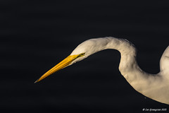 Focussed (pandatub) Tags: bird birds egret greategret shorelinepark mountainview