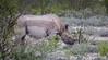 Namibia Etosha Rhino (Sas & Rikske) Tags: black rhino blackrhino canon eos1d x canoneos1dx canon100400 eric bruyninckx riksketervuren namibië namibia namib animal animals safari africa afrika etoshagamepark etosha game park etoshapan pan greatwhiteplace great white place oshindonga ndonga landscape green blauwevogelreizen 2017 rhinoceros blackrhinoceros hooklipped hooklippedrhinoceros