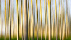 Poplar Impression (Lumix Snapper 18) Tags: bromesberrow gloucestershire icm impressionist lx5 poplars unfiltered
