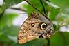 Peleides Blue Morpho Butterfly (Bri_J) Tags: tropicalbutterflyhouse northanston southyorkshire uk butterflyhouse zoo yorkshire nikon d7200 peleidesbluemorpho butterfly peleides bluemorpho insect wing morphopeleides