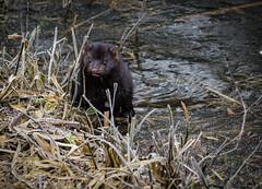 Mink on ice (neil 36) Tags: mink not native britan they american neovison vison furfarming nature wildlife nikon d7200 nikor200500mm
