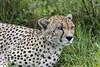 Postprandial rest break (tmeallen) Tags: cheetah male adult acinonyxjubatus greengrass rainyseason bush postprandial afterfeeding relaxed grumetigamereserve serengeti tanzania eastafrica