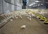 Modern meat (Zeigen_was) Tags: brandenburg geflügel chicken poultry agriculture meat fleischindustrie fleisch landwirtschaft lebensmittel feed reportage germany deutschland