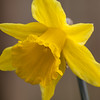 365.47 and 100x.11 First one of the year. (AmyGStubbs) Tags: 100xthe2018edition 100x2018 16feb18 2018 365the2018edition 3652018 daffodil day47365 e30 garden image11100 macro olympus sigma105mmf28exdgmacrofourthirds yellow flower