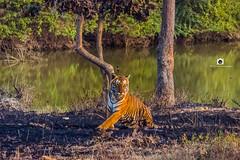 v127 (tobby_vivekanand) Tags: tiger forest jungle safari wildlife wild mejastic india